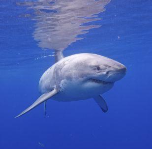 Un grand requin blanc (image d'illustration)