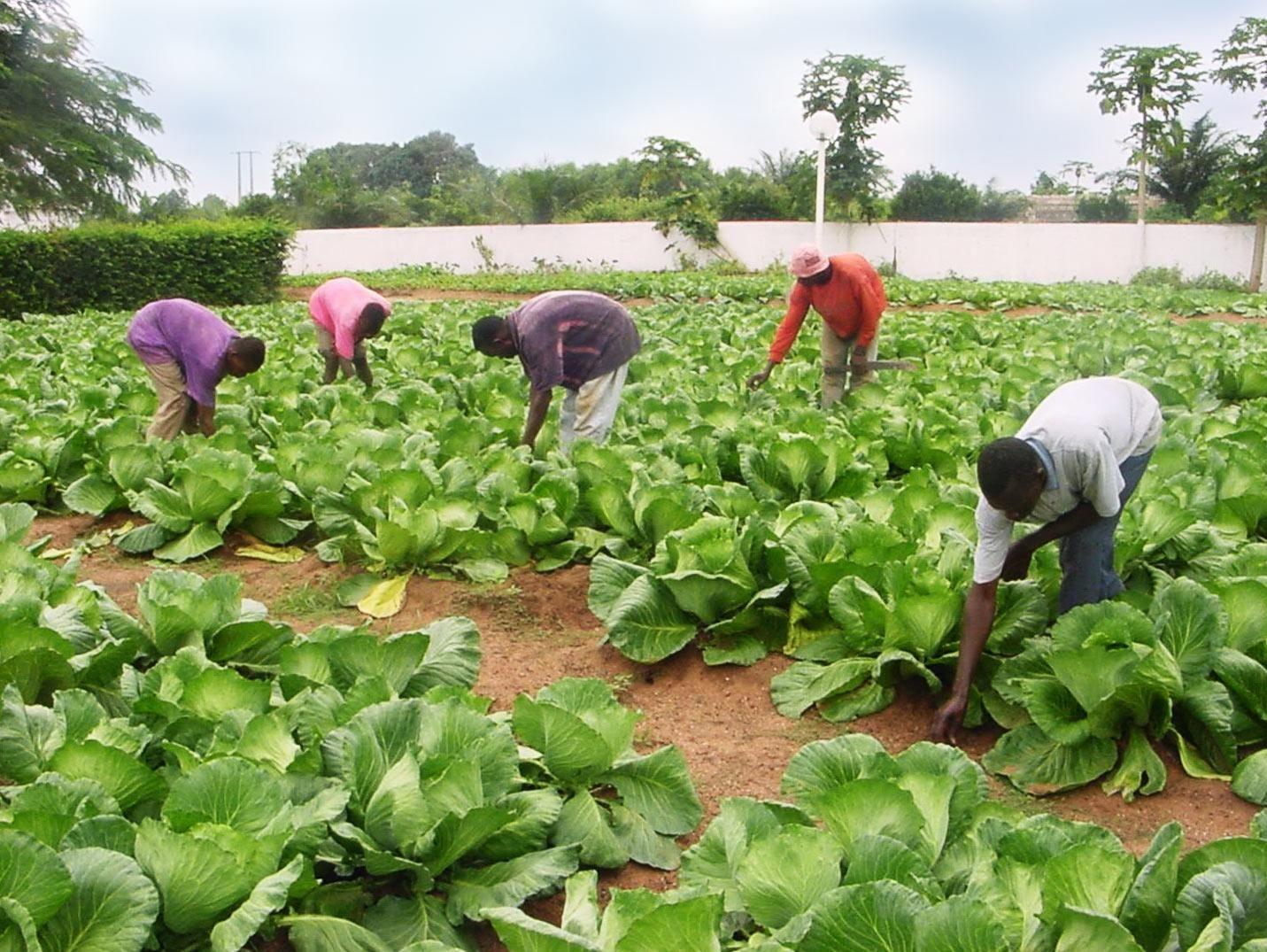 Employés de Biotop dans un champ de choux appartenant à Fernandino Eloko à Ebibeyin. L'agriculteur produit aussi des légumes. © Sputnik, Fabien Essiane