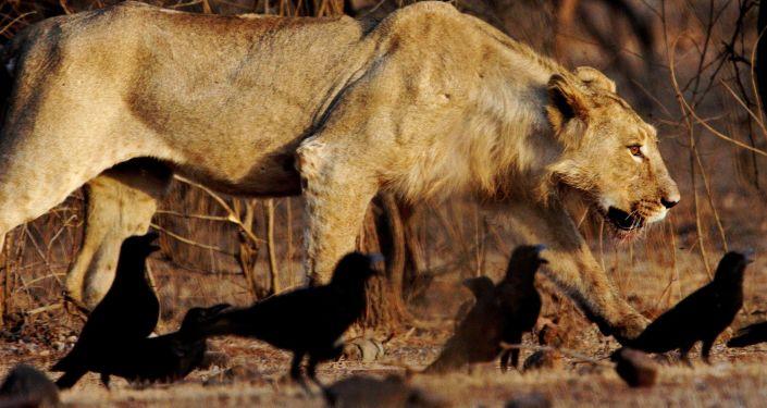 Lion asiatique