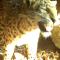 Неизвестный леопард отметился на «главной съемочной площадке» «Земли леопарда»