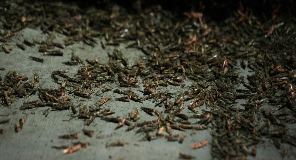Images spectaculaires Las Vegas envahie par les sauterelles