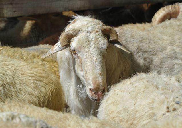 Les moutons de l'Aïd al-Adha