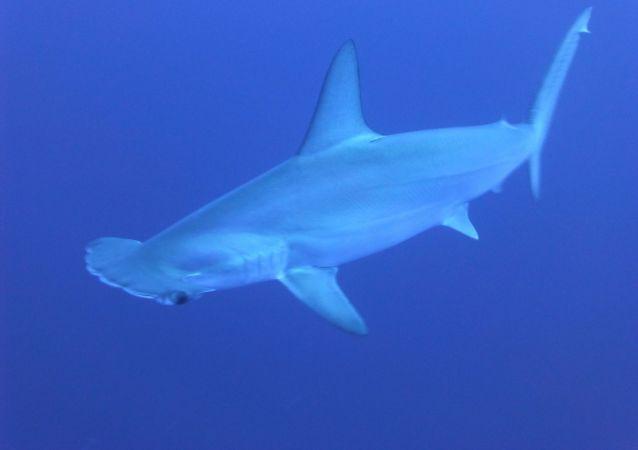 un requin-marteau, image d'illustration