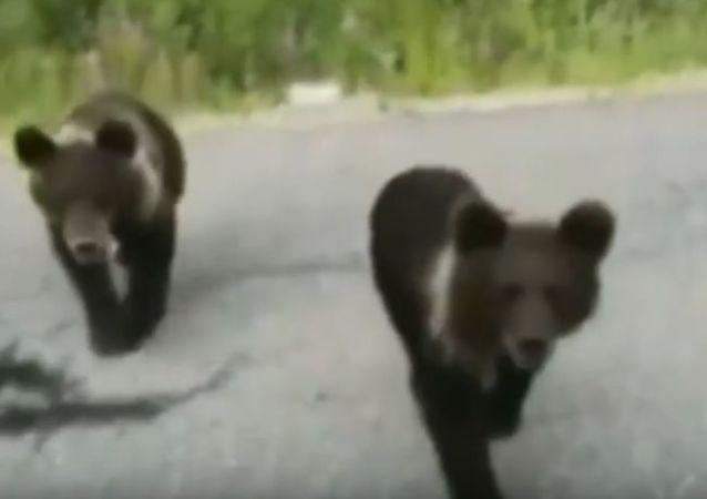 En Sibérie, un conducteur a failli devenir la victime d'ours