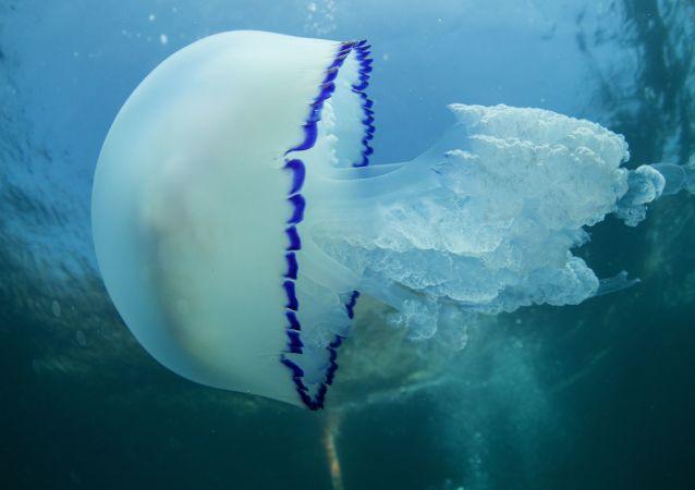 une méduse rhizostoma