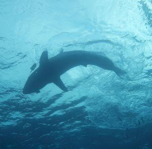 Requin blanc (archive photo)