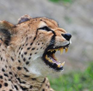 Un guépard (image d'illustration)