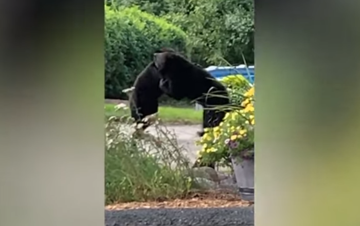 Two bears get into a brutal fight in the middle of New Jersey street