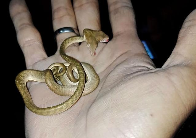 Un serpent à deux têtes découvert à Bali