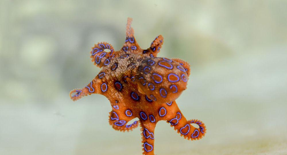 Une petite pieuvre essaie de se cacher dans la bouche d'un plongeur - vidéo