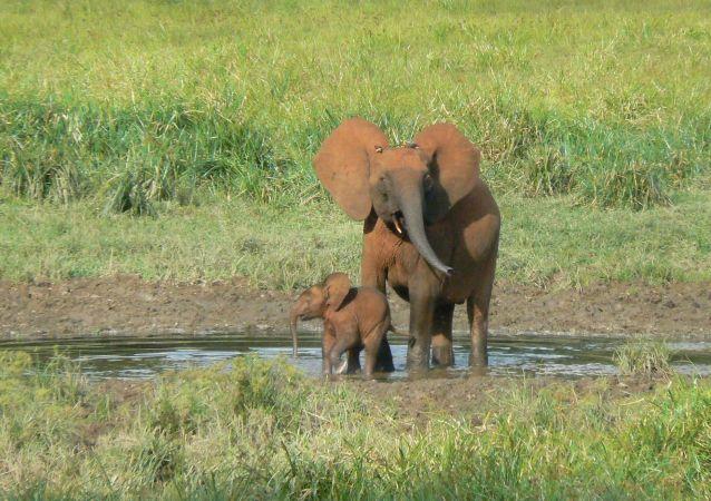 Les éléphants dans une clairière dans le parc national de Nki, Est Cameroun