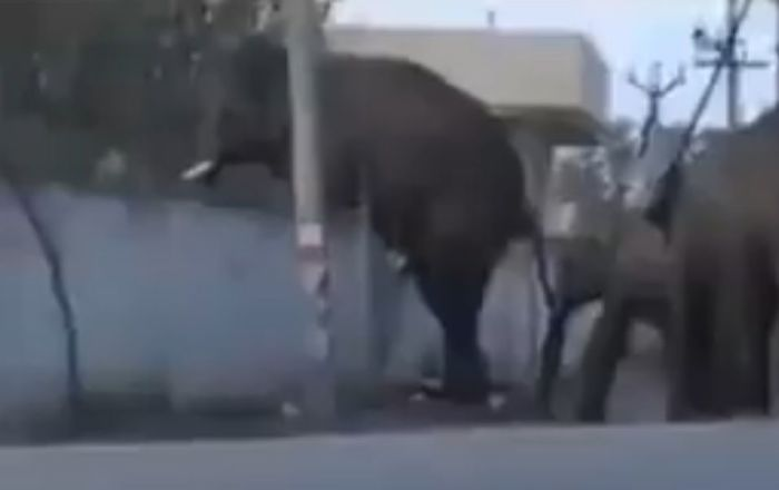 Elephants jump over wall to return to jungle in devastating video goes to viral