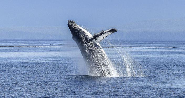 Une baleine à bosse (image d'illustration)