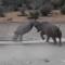 Une bataille impressionnante entre deux rhinocéros noirs
