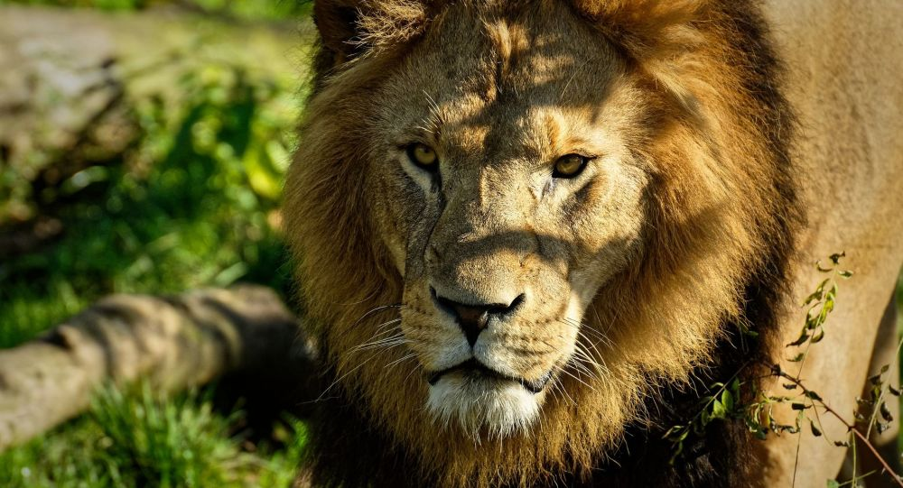 Lion (image d'illustration)