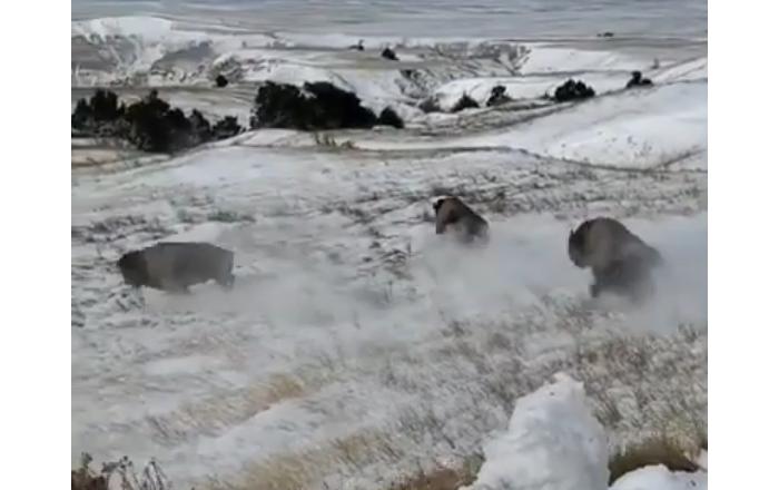 Des bisons sont mis en liberté dans le parc Badlands aux États-Unis