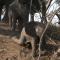 Deux éléphanteaux dévalent une pente raide