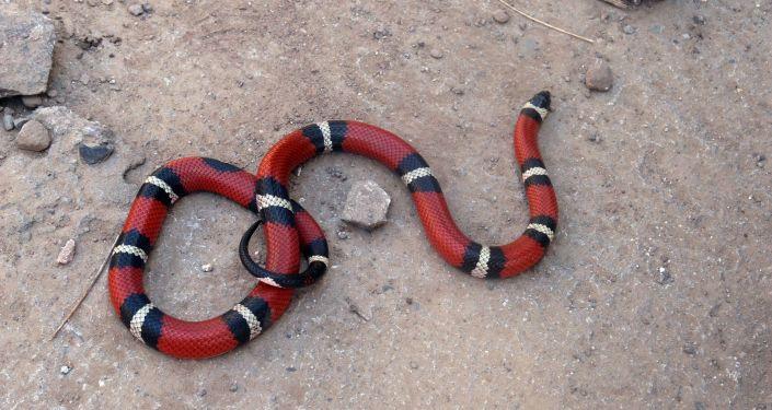 Serpent corail (image d'illustration)