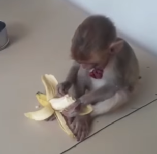 Amazing Animal News!! Dog Rescues Abandoned Baby Monkey and Takes it to the Police