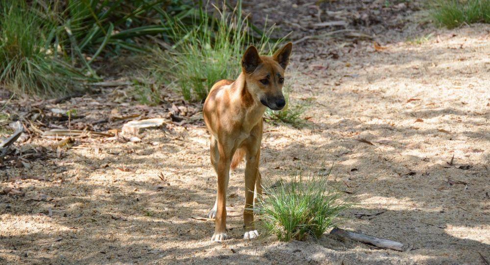 Dingo (image d'illustration)