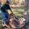 Cette scène va faire fondre les cœurs: un ours orphelin retrouve son gardien après des années de séparation