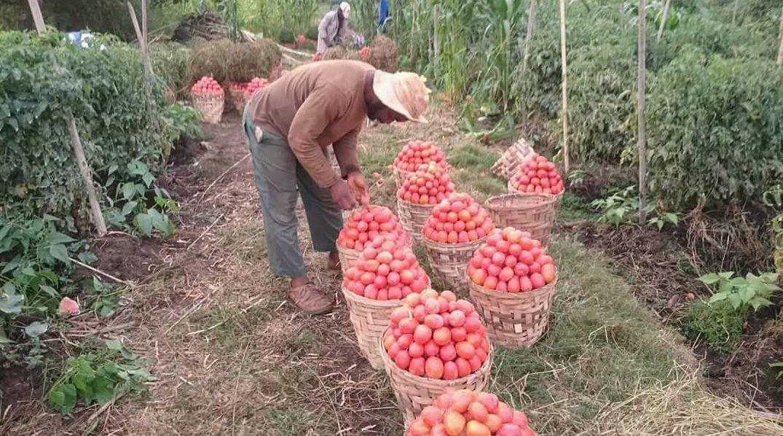 Une récolte de tomates dans les plantations de Rhamane Bidima