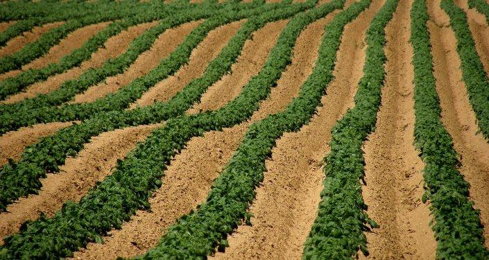 Champ de pommes de terre dans la région Pas-de-Calais
