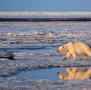 A polar bear in the Arctic National Wildlife Refuge