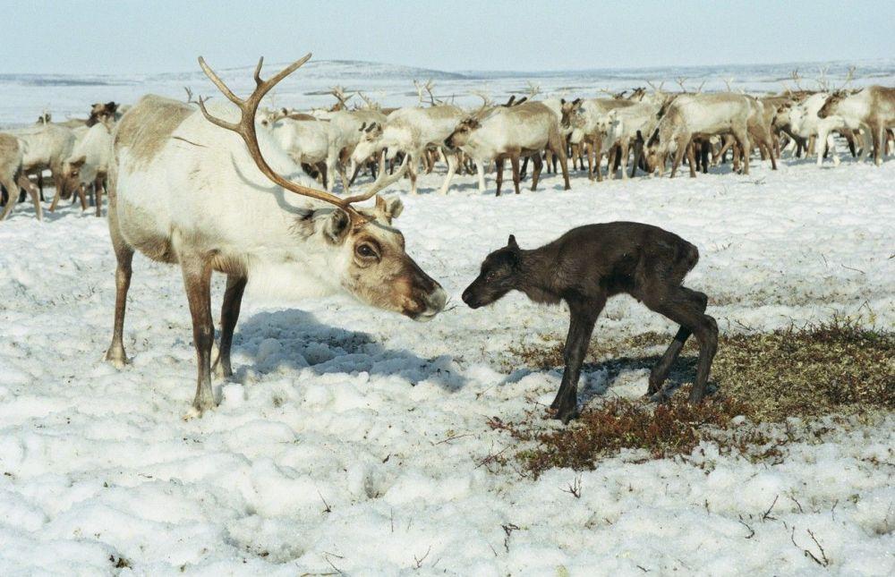 Le renne est l'un des animaux les plus beaux du Nord