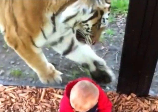 Le tigre est intrigué par un enfant