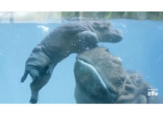 Cours de natation pour bébé hippo
