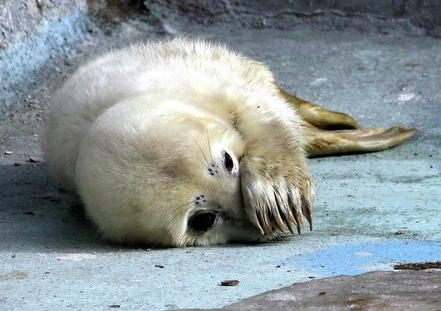 Phoque, zoo de Kaliningrad. Photo d'illustration