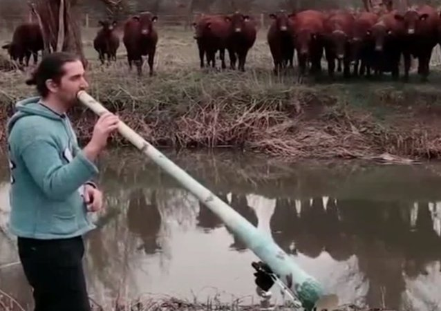Récital pour troupeau de vaches