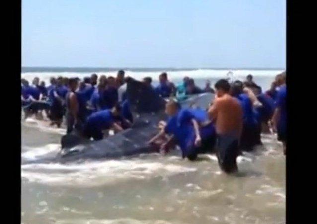 Des volontaires tentent de secourir un requin-baleine