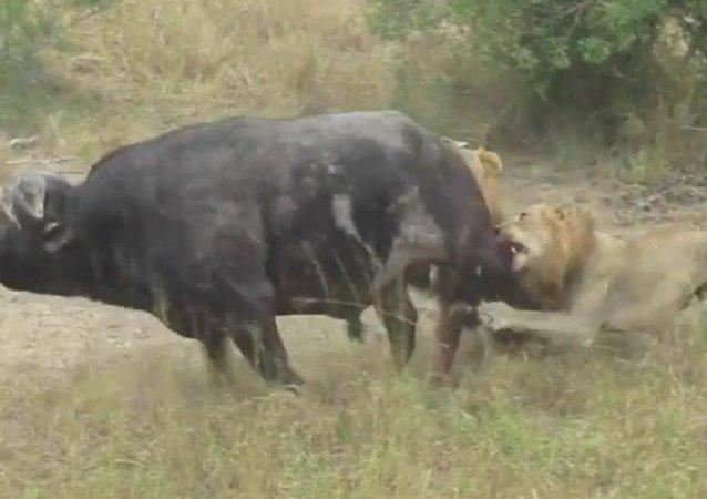 Un buffle chasse deux lions
