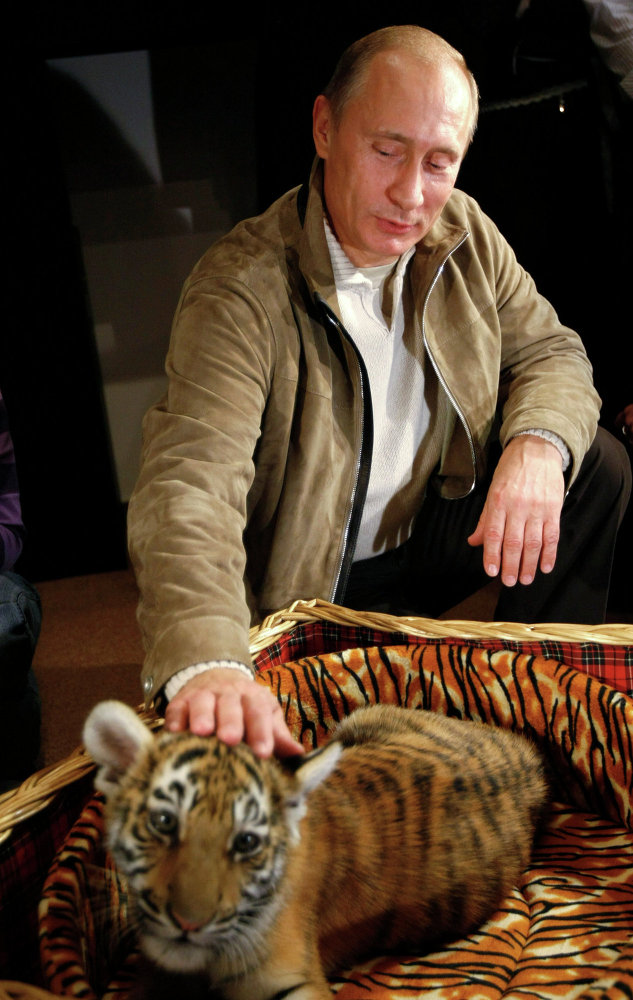 Le premier ministre russe Vladimir Poutine caressant un jeune tigre reçu en cadeau pour son anniversaire. Le 7 octobre 2008