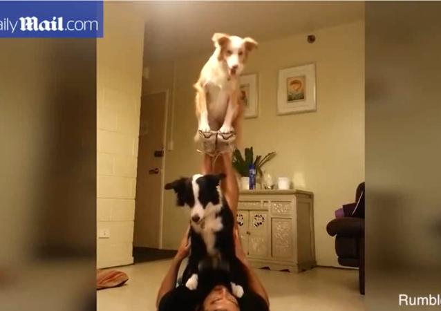 Deux chiens acrobates