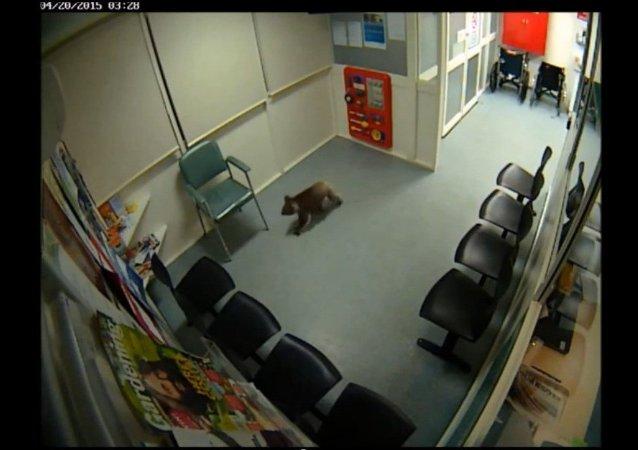 Un coala curieux visite un hôpital