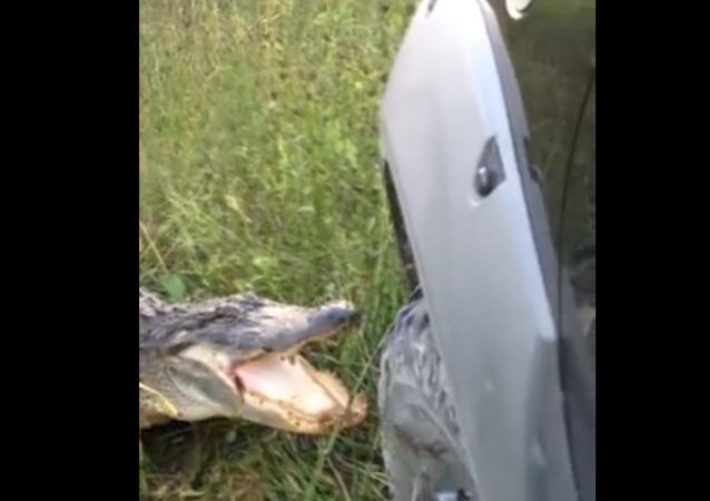 Un alligator hostile aux camions