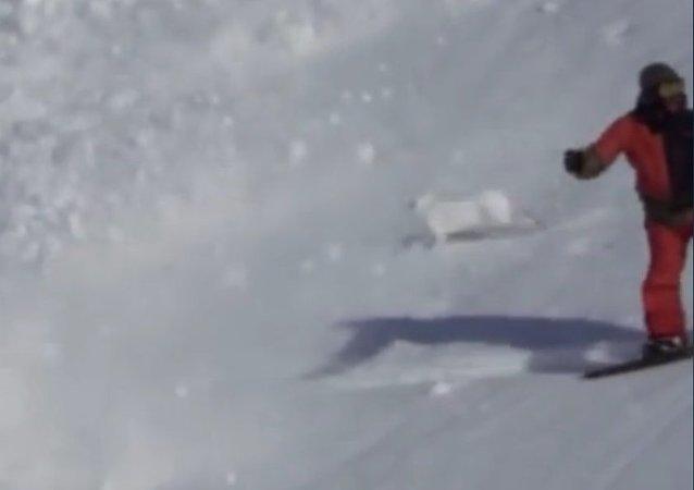 Un lièvre court à travers une avalanche