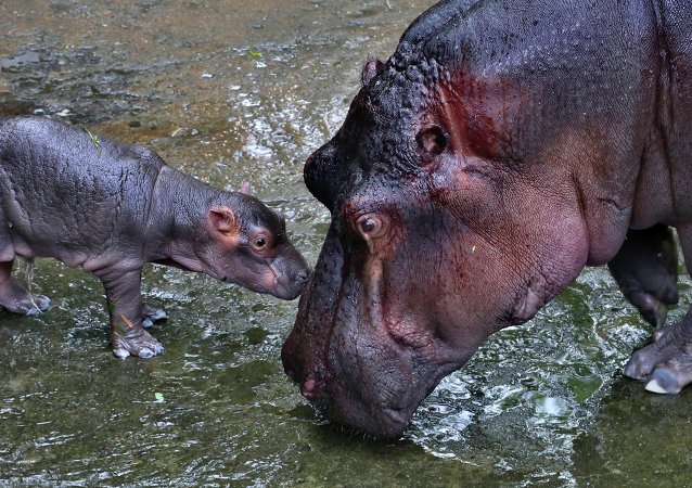 Rétablie, Fiona l'hippopotame pique une tête dans la piscine (vidéo)