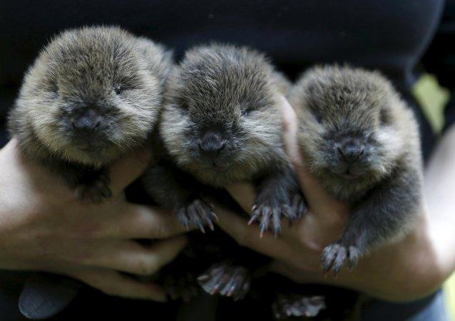 Trois castors sont nés le 21 juillet dans le zoo de Wuppertal, en Allemagne. Ils n'ont que deux jours sur la photo