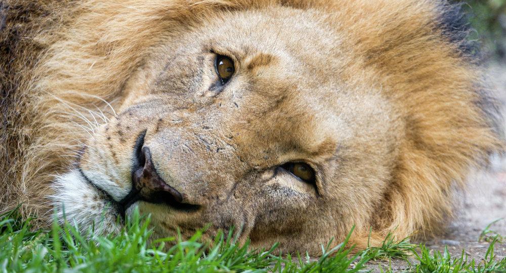 Cecil, lion de Zimbabwe tué par un dentiste américain