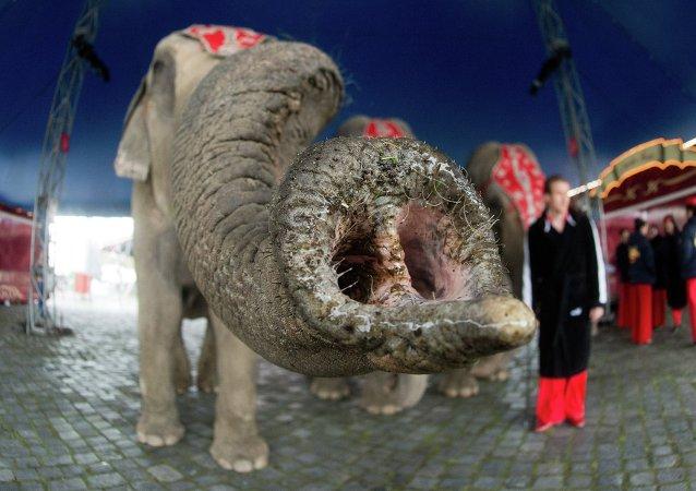 Le Cirque national suisse Knie. Numéro avec des éléphants
