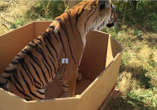 Les gros chats aiment aussi les boîtes