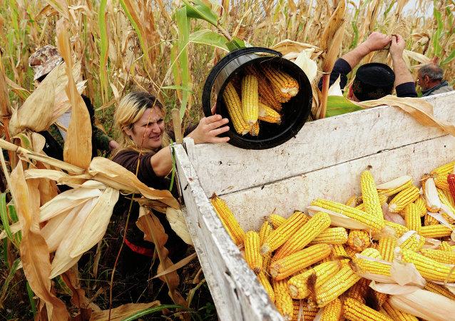 Récolte de maïs en Géorgie