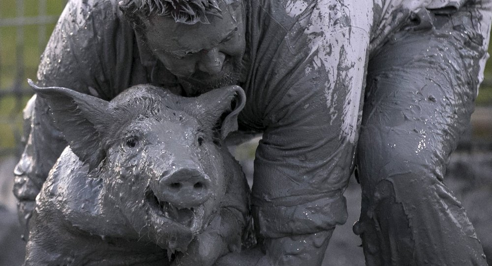 'Greased pig contest at the Festival du Cochon (Pig Festival) in Sainte-Perpetue