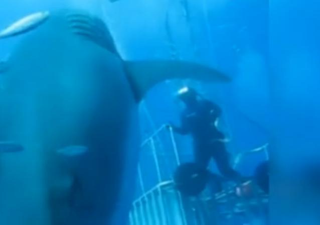 6m, c'est la taille du plus gros requin jamais filmé !
