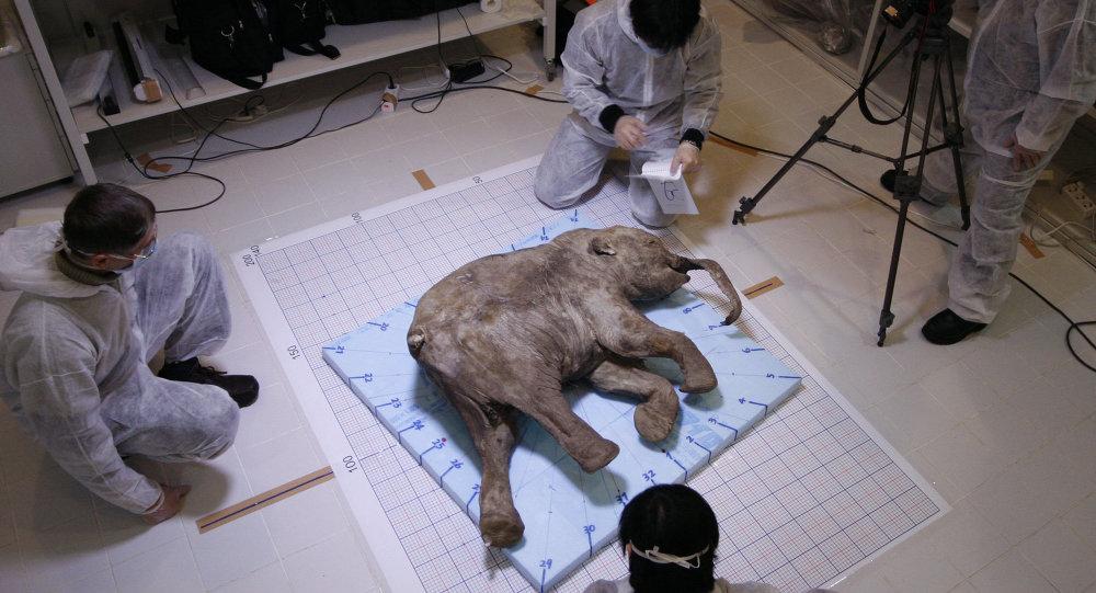 Un bébé mammouth sibérien