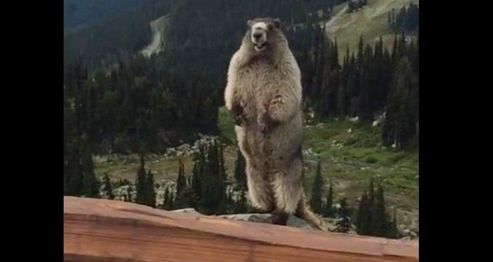 Le chant de la marmotte